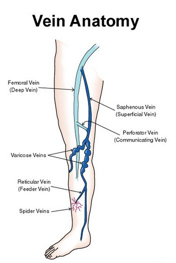 Vein Anatomy
